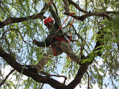 Tree Pruning In Large Tree